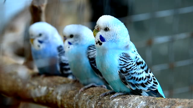 budgies in a cage - budgerigar stock videos & royalty-free footage