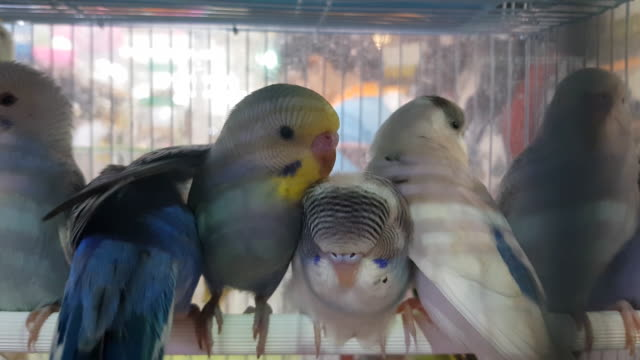 Budgies living their life in captivity