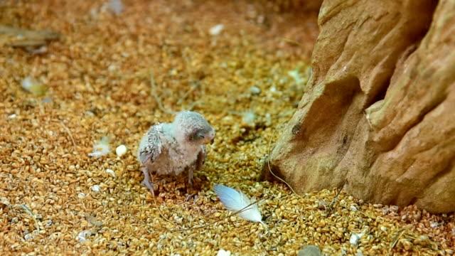 vídeos de stock, filmes e b-roll de budgies parrot - periquito comum