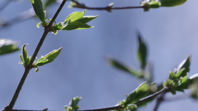 Buds growing on tree branches on windy day