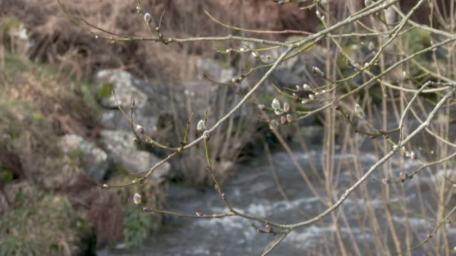 Buds on a tree blowing in the wind with a river in the background