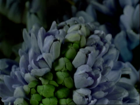 t/l bcu buds opening to blue hyacinth flowers, black background - hyacinth stock videos & royalty-free footage