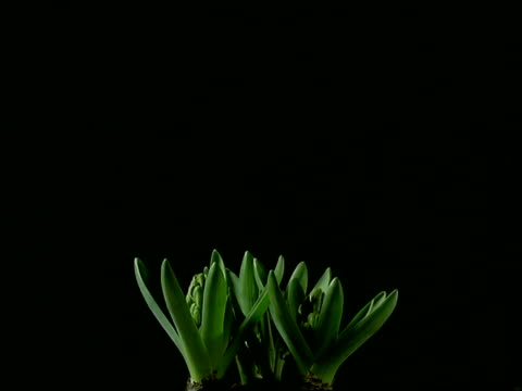 T/L MS buds opening to pale pink Hyacinth flowers, black background