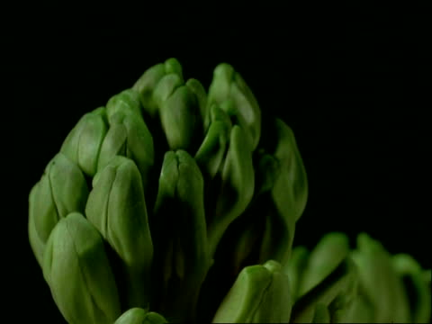 T/L BCU buds opening to pale pink, Hyacinth flowers, black background