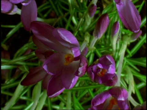 t/l buds opening to purple crocus flowers, from above - plant bulb stock videos & royalty-free footage