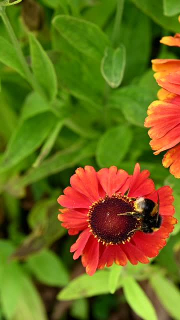 buff tailed bee collecting pollen from a flower - johnfscott stock videos & royalty-free footage