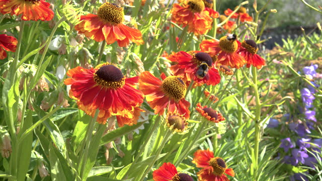 buff tailed bumblebee on a bright coloured flower - johnfscott stock videos & royalty-free footage