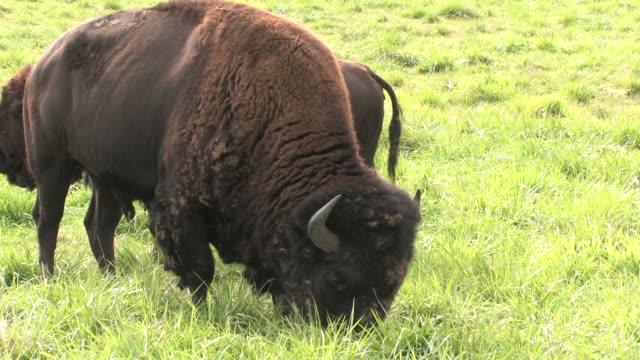 Buffalo 12 - HD 1080/24f