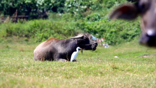 Buffalo and egret