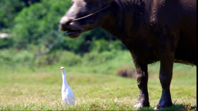 buffalo and egret - egret stock videos and b-roll footage