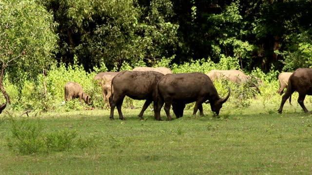 buffalo e egretta - pascolare video stock e b–roll