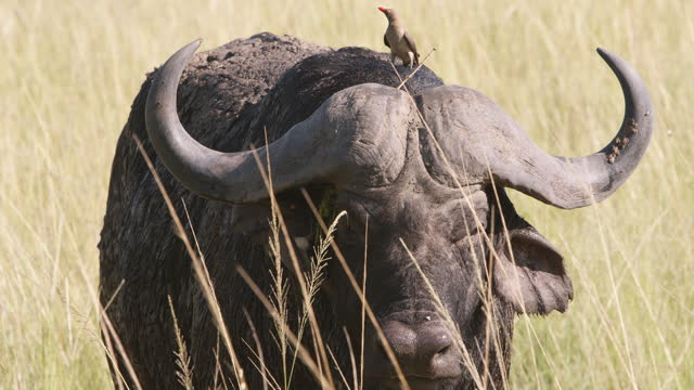 buffalo and oxpeckers - symbiotic relationship stock videos & royalty-free footage
