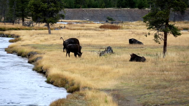buffalo bison in yellowstone national park - river yellowstone stock videos & royalty-free footage