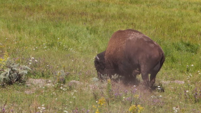 buffalo dig up dirt and wander away in yellowstone national park, wy - calf stock videos & royalty-free footage