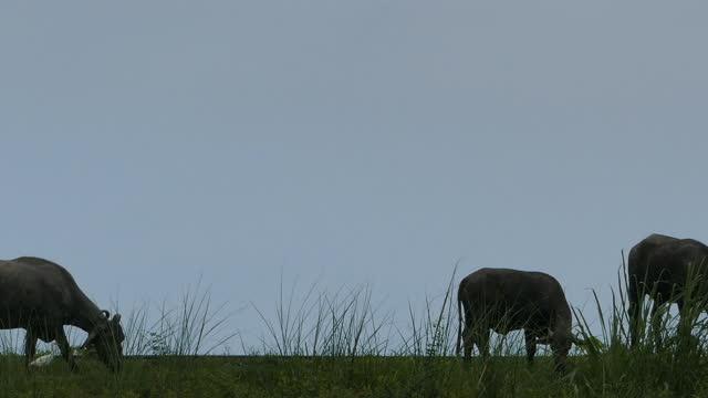 büffel fressen gras auf grasland. - tier in gefangenschaft stock-videos und b-roll-filmmaterial