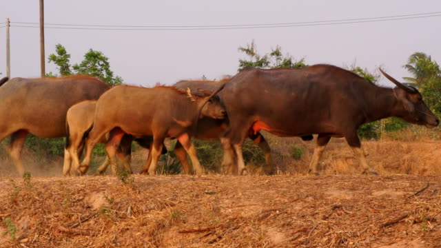 buffalo family walk - wild cattle stock videos & royalty-free footage