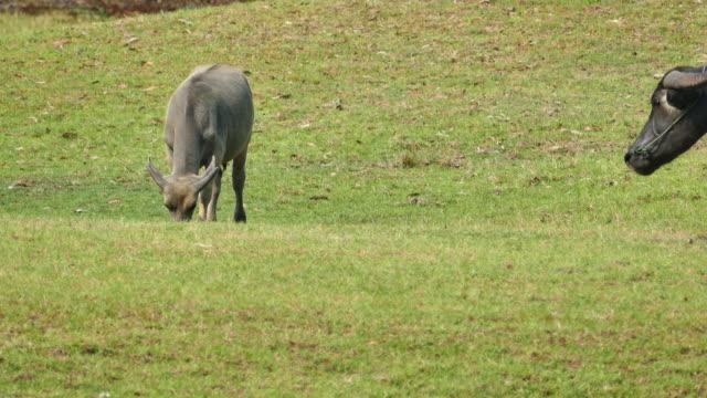 büffel weiden in einem feld. - menschlicher muskel stock-videos und b-roll-filmmaterial