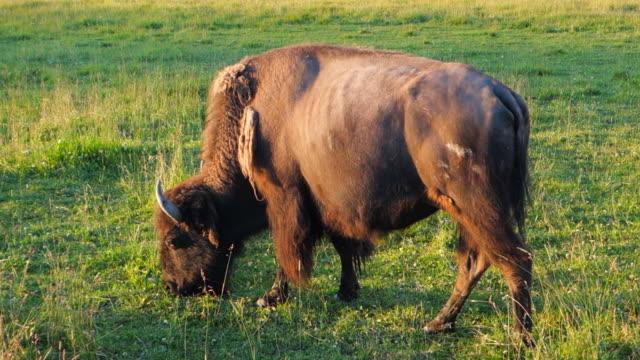 a buffalo grazes on afternoon grasses in yellowstone national park, wy - varmt ljus bildbanksvideor och videomaterial från bakom kulisserna
