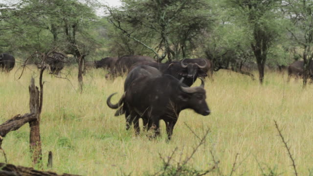 buffalo (syncerus caffer) grazing ander acacia trees - tropischer baum stock-videos und b-roll-filmmaterial