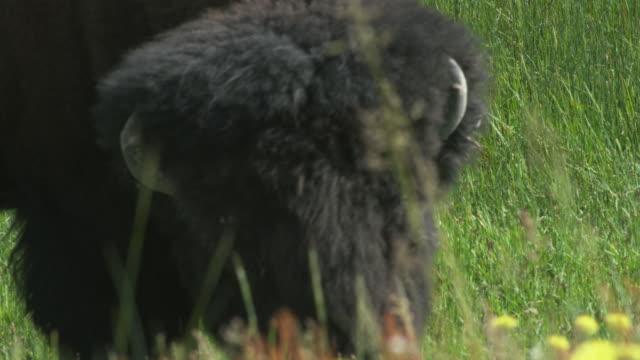 cu buffalo grazing in field / yellowstone, wyoming, usa - アメリカバイソン点の映像素材/bロール