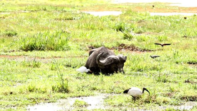 vídeos de stock, filmes e b-roll de buffalo pastando na água - búfalo africano