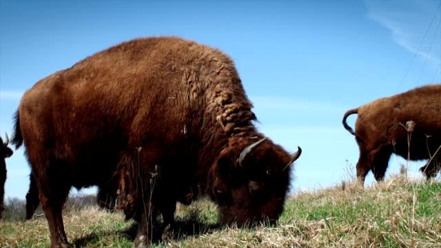 vídeos y material grabado en eventos de stock de de buffalo pastar - bisonte americano
