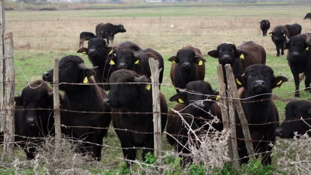 Buffalo Grasen