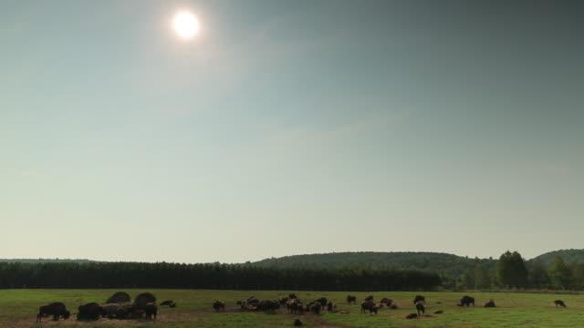 buffalo herd in field - cattle点の映像素材/bロール