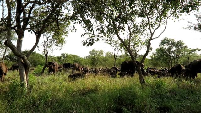 vídeos y material grabado en eventos de stock de buffalo rebaño en reserva natural de kruger - ganadero