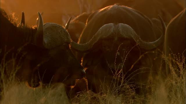 buffalo herd in the morning of okavango delta - morning dew stock videos & royalty-free footage