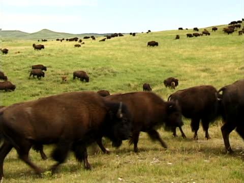 vídeos y material grabado en eventos de stock de buffalo herd - herbívoro