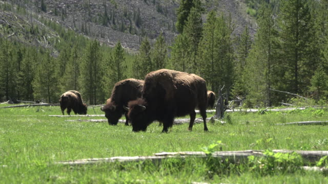 büffel in einem feld - yellowstone nationalpark stock-videos und b-roll-filmmaterial