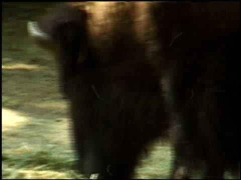 vídeos y material grabado en eventos de stock de a buffalo in a zoo feeds on hay. - animales en cautiverio