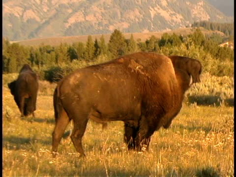 cu, zo, ms, buffalo in field, teton mountains in background, grand teton national park, wyoming, usa - medium group of animals stock videos & royalty-free footage