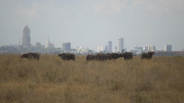 buffalo in front of nairobi skyline, kenya - nairobi stock videos and b-roll footage