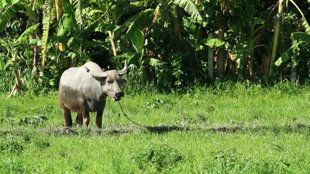 Buffalo in green field