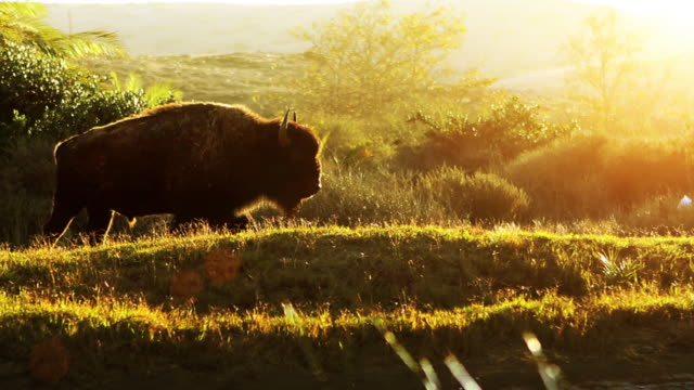 buffalo in morning meadow - american bison stock videos & royalty-free footage