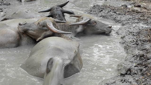 buffalo in mud flat - mud flat stock videos & royalty-free footage