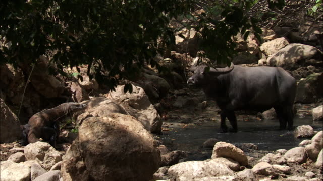 buffalo in pool stands as komodo dragon approaches. - insel komodo stock-videos und b-roll-filmmaterial