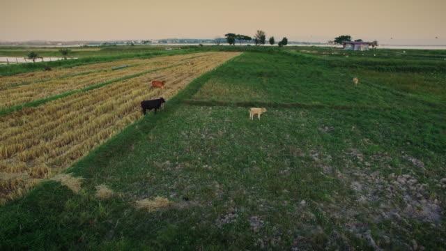 buffalo in rice field - paddy field stock videos & royalty-free footage