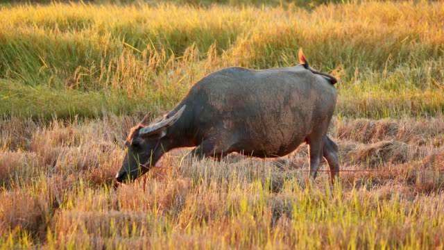 Buffalo in rice harvested at countryside, Thailand.