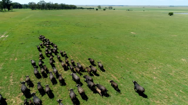 buffalo in south africa - herd stock videos & royalty-free footage