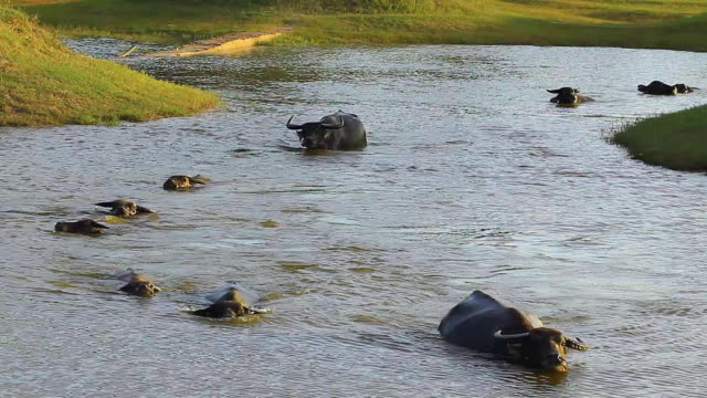buffalo is walking in the water - cattle stock videos & royalty-free footage