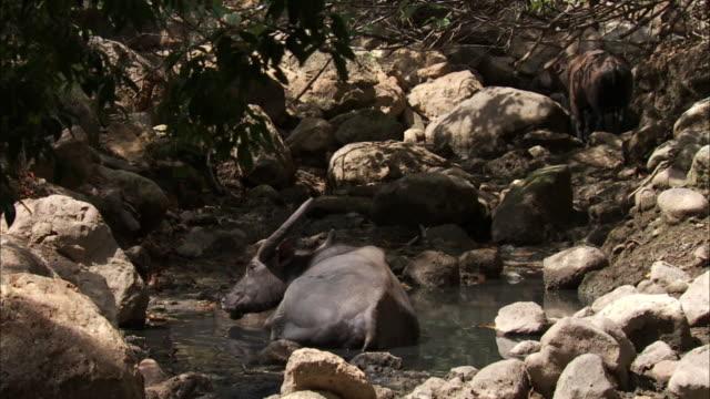 buffalo lies in pool. - water buffalo stock videos & royalty-free footage