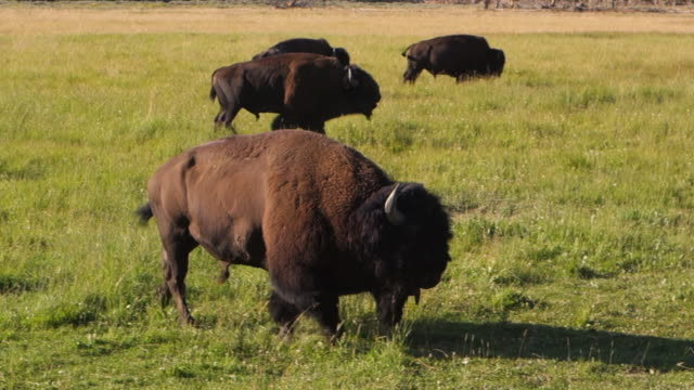 buffalo males trot and gallop in grassy field in yellowstone national park, wy - american bison stock videos & royalty-free footage