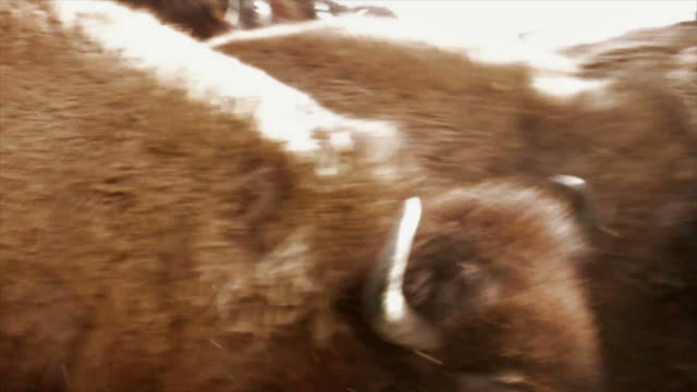 buffalo   na  ba - american bison stock videos & royalty-free footage