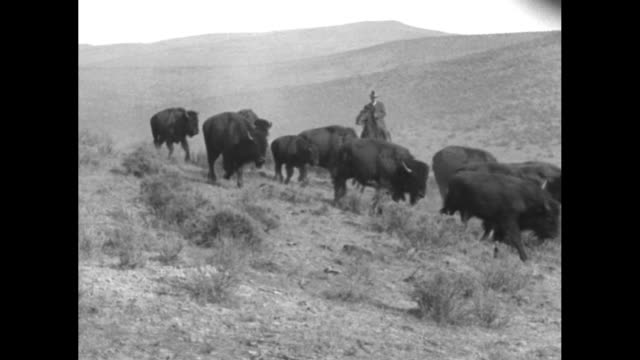 buffalo near river bank / buffalo walking across sagebrush prairie man on horse behind them pan across to buffalo as they start running two men ride... - american bison stock videos & royalty-free footage