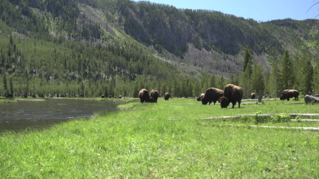 neben einem bach büffel - yellowstone nationalpark stock-videos und b-roll-filmmaterial