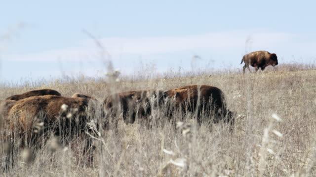 buffalo on tall grass prairie  - prairie stock videos & royalty-free footage