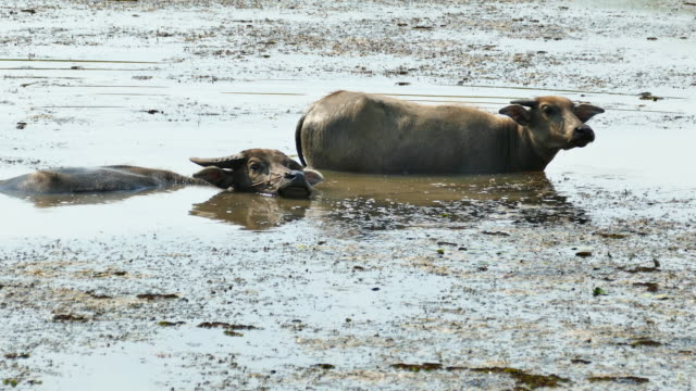 buffalo relaxes in a mud. - herbivorous stock videos & royalty-free footage